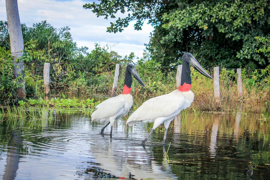 IMG_2321_pantanal